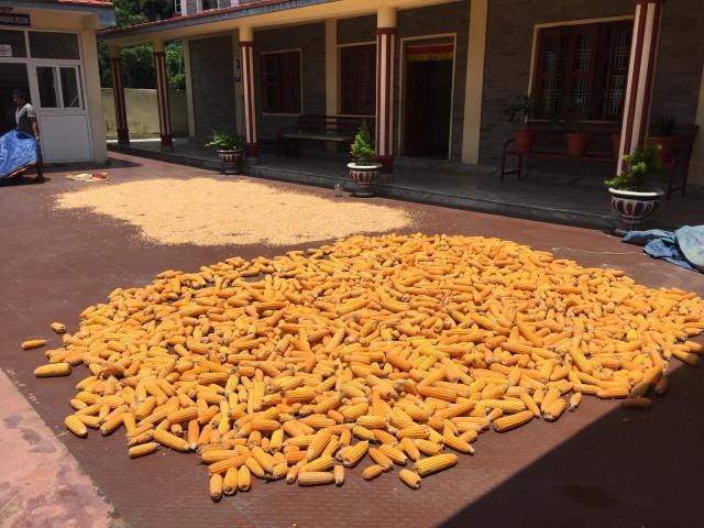 Der Mais wird getrocknet