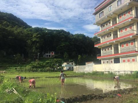 Reisfeld hinter dem Studentenheim