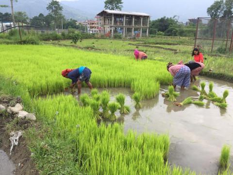 Viele, viele Reisbüschel wollen gepflanzt werden